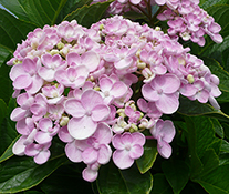 Hydrangea 'Ayesha' in bloom