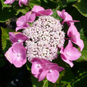 Hydrangea 'Fasan' in bloom.
