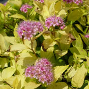 Spiraea x 'Goldmound' with its great yellow-green foliage.