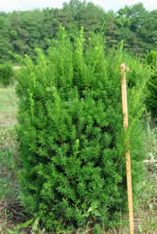 Here is an example of our B&B Taxus 'Hicksi'.