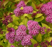 The rosy pink flowers of Spiraea 'Magic Carpet' contrast nicely with its lime-yellow foliage.