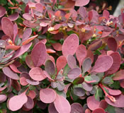 Rose-pink new growth on Berberis 'Crimson Pygmy'.