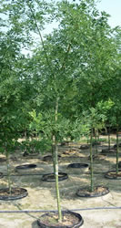 Sophora 'Regent' shown here grown in our 25 gal. Pot-in-Pot containers.