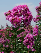 Lagerstroemia 'Zuni' with its purple blooms.