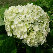 The beautiful large blooms of Hydrangea 'Annabelle'.