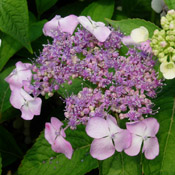 Hydrangea 'Blue Billow' bloom