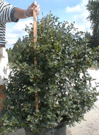 Here is an example of our China Girl Holly grown in a 10 gallon container.