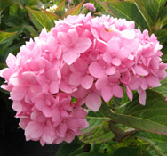 Hydrangea 'Endless Summer' in bloom.