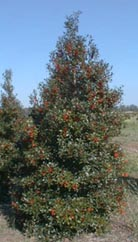 "Our Ilex ""Foster's #2"" is abundantly covered with berries starting in early fall."