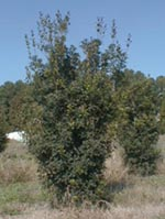 "An example of our field grown Osmanthus ""Gulftide""."