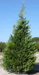Ed Tankard shows the height of our Leyland Cypress.