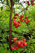 Berries on the Nandina domestica.