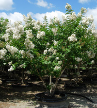 Lagerstroemia 'Natchez' sitting in a field here on the nursery with an abundance of white flowers.