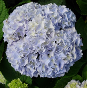 Hydrangea 'Nikko' always remains a popular choice here at the nursery.