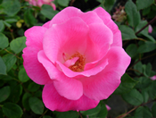 Beautiful pink flowers of Rosa 'Pink Knockout' in bloom.