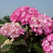 "Hydrangea ""Preziosa"" beginning to bloom."