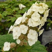 Hydrangea 'Snow Queen' in bloom.