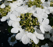 A close-up of the white blooms of Viburnum 'Summer Snowflake'.
