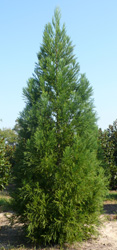 Cryptomeria japonica 'Yoshino' is available field grown as pictured here, or in container.